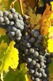 agricultural;agriculture;australasian;Australia;australian;autumn;boynton-vineyard;boynton-winery;Boyntons-of-Bright-winery;Boyntons-of-Bright;bright;country;countryside;crop;crops;cultivation;fall;farm;farming;farmland;farms;field;fields;grape;grapes;grapevine;horticulture;porepunkah;row;rows;rural;Victoria;vine;vines;vineyard;vineyards;vintage;wine;wineries;winery;wines;yellow