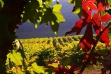 agricultural;agriculture;australasian;Australia;australian;autumn;boynton-vineyard;boynton-winery;Boyntons-of-Bright-winery;Boyntons-of-Bright;bright;country;countryside;crimson;crop;crops;cultivation;fall;farm;farming;farmland;farms;field;fields;grape;grapes;grapevine;horticulture;porepunkah;red;row;rows;rural;scarlet;Victoria;vine;vines;vineyard;vineyards;vintage;wine;wineries;winery;wines