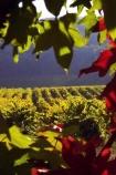 agricultural;agriculture;australasian;Australia;australian;autumn;boynton-vineyard;boynton-winery;Boyntons-of-Bright-winery;Boyntons-of-Bright;bright;country;countryside;crimson;crop;crops;cultivation;fall;farm;farming;farmland;farms;field;fields;grape;grapes;grapevine;horticulture;porepunkah;red;row;rows;rural;scarlet;Victoria;vine;vines;vineyard;vineyards;vintage;wine;wineries;winery;wines