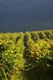 agricultural;agriculture;australasian;Australia;australian;autumn;boynton-vineyard;boynton-winery;Boyntons-of-Bright-winery;Boyntons-of-Bright;bright;country;countryside;crop;crops;cultivation;fall;farm;farming;farmland;farms;field;fields;grape;grapes;grapevine;horticulture;porepunkah;row;rows;rural;Victoria;vine;vines;vineyard;vineyards;vintage;wine;wineries;winery;wines