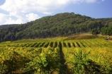 agricultural;agriculture;australasia;australasian;australia;australian;autumn;boynton-vineyard;boynton-winery;Boyntons-of-Bright-winery;Boyntons-of-Bright;bright;country;countryside;crop;crops;cultivation;fall;farm;farming;farmland;farms;field;fields;grape;grapes;grapevine;horticulture;porepunkah;row;rows;rural;victoria;vine;vines;vineyard;vineyards;vintage;wine;wineries;winery;wines