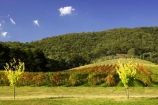 agriculture;australasian;Australia;australian;autuminal;autumn;autumnal;bright;country;countryside;crop;crops;cultivation;fall;farm;farming;farmland;farms;field;fields;gapstead;gapstead-vineyard;gapstead-winery;grape;grapes;grapevine;gricultural;horticulture;myrtleford;porepunkah;row;rows;rural;Victoria;vine;vines;vineyard;vineyards;vintage;wine;wineries;winery;wines