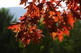 agricultural;agriculture;australasia;australasian;Australia;australian;autuminal;autumn;autumn-colour;autumn-colours;autumnal;autumninal;bright;color;colors;colour;colours;crimson;deciduous;fall;fall-color;fall-colors;foliage;leaf;leaves;oak;oaks;pin-oak;pin-oaks;quercus;red;scarlet;scarlet-oak;scarlet-oaks;tree;trees;Victoria