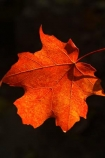 acer;agricultural;agriculture;australasia;australasian;Australia;australian;autuminal;autumn;autumn-colour;autumn-colours;autumnal;autumninal;bright;color;colors;colour;colours;crimson;deciduous;fall;fall-color;fall-colors;foliage;leaf;leaves;maple;maples;red;scarlet;tree;trees;Victoria