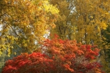 Australia;autuminal;autumn;autumn-colour;autumn-colours;autumnal;Bogong;Bogong-Village;color;colors;colour;colours;deciduous;East-Victoria;eastern-Victoria;fall;leaf;leaves;maple;maples;Mount-Beauty;Mt-Beauty;Mt.-Beauty;season;seasonal;seasons;tree;trees;VIC;Victoria;Victorian-Alps;yellow