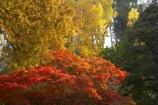 Australia;autuminal;autumn;autumn-colour;autumn-colours;autumnal;Bogong;Bogong-Village;color;colors;colour;colours;deciduous;East-Victoria;eastern-Victoria;fall;leaf;leaves;maple;maples;Mount-Beauty;Mt-Beauty;Mt.-Beauty;season;seasonal;seasons;tree;trees;VIC;Victoria;Victorian-Alps;yellow