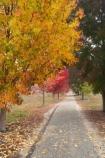 australasia;Australia;australian;autuminal;autumn;autumn-colour;autumn-colours;autumnal;autumninal;avenue;avenues;boulevard;boulevards;Bright;claret-ash;color;colors;colour;colours;cycle-trail;cycle-trails;cycleway;cycleways;deciduous;East-Victoria;eastern-Victoria;fall;fall-color;fall-colors;foliage;golden;leaf;leaves;liquid-amber;Murray-to-the-Mountains-Rail-Trail;rail-trail;rail-trails;season;seasonal;seasons;tourism;travel;tree;trees;VIC;Victoria;yellow
