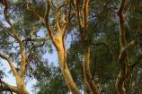 australasia;australia;australian;bough;boughs;branch;branches;eucalypt;eucalypts;eucalyptus;eucalytis;gum;gum-tree;gum-trees;gums;red-gum;red-gums;tree;trees;victoria