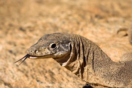 Alice-Springs;animal;animals;Australasia;Australia;Australian;Australian-Outback;blue-tongue;blue-tongues;Central-Australia;forked-tongue;forked-tongues;Goanna;Goanna-Varanus-sp;Goannas;lizard;lizards;Monitor-Lizard;Monitor-Lizards;N.T.;Northern-Territory;NT;Outback;reptile;reptiles;Spencers-Goanna;tongue;tongues