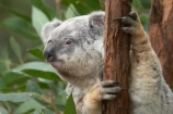 Animal;Animals;arm;arms;Australia;australian;claw;claws;climb;climbs;Close-up;Close_up;currumbin;currumbin-wildlife-sanctuary;eucalyptus;face;feet;finger;fingers;foot;fur;furry;gold-coast;gum-tree;hand;hands;Koala;Koalas;Mammal;Mammals;Marsupial;Marsupials;Nature;Oceania;paw;paws;Phascolarctos;Phascolarctos-cinereus;queensland;toe;toes;tree;trees;Wild;Wildlife;zoo;Zoology