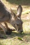 Animal;Animals;australasia;Australia;australian;austrlian;drink;drinking;drinks;eastern-gray-kangaroo;eastern-gray-kangaroos;gray-kangaroo;gray-kangaroos;Grey-Kangaroo;Grey-Kangaroos;Kangaroo;Kangaroos;Macropus-giganteus;Mammal;Mammals;Marsupial;Marsupials;Nature;skippy;Wild;Wildlife;Zoology