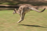 Animal;Animals;australasia;Australia;australian;austrlian;blur;blurred;blurry;eastern-gray-kangaroo;eastern-gray-kangaroos;gray-kangaroo;gray-kangaroos;Grey-Kangaroo;Grey-Kangaroos;jump;jumper;jumping;jumps;Kangaroo;Kangaroos;Macropus-giganteus;Mammal;Mammals;Marsupial;Marsupials;Nature;skippy;Wild;Wildlife;Zoology