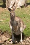 Animal;Animals;australasia;Australia;australian;austrlian;eastern-gray-kangaroo;eastern-gray-kangaroos;gray-kangaroo;gray-kangaroos;Grey-Kangaroo;Grey-Kangaroos;Kangaroo;Kangaroos;Macropus-giganteus;Mammal;Mammals;Marsupial;Marsupials;Nature;skippy;tongue;tongues;Wild;Wildlife;Zoology