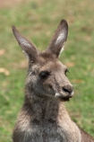Animal;Animals;australasia;Australia;australian;austrlian;ear;ears;eastern-gray-kangaroo;eastern-gray-kangaroos;gray-kangaroo;gray-kangaroos;Grey-Kangaroo;Grey-Kangaroos;head;heads;Kangaroo;Kangaroos;Macropus-giganteus;Mammal;Mammals;Marsupial;Marsupials;Nature;portrait;portraits;skippy;Wild;Wildlife;Zoology