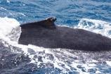 Animal;Animals;australia;australian;Cetacean;Cetaceans;Coast;dorsal;fin;fins;hervey-bay;humpback;Humpback-Whale;humpbacks;Marine-life;Marine-mammal;Marine-mammals;Megaptera-novaeangliae;Nature;ocean;oceans;pacific-ocean;Power;queensland;Sea;Sea-mammal;Sea-mammals;seas;splash;splashes;splashing;tasman-sea;Water;Whale;whale-watch;whale-watchers;whale-watching;whale_watch;whale_watchers;whale_watching;Whales