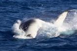 Animal;Animals;australia;australian;big;breach;breaches;breaching;Cetacean;Cetaceans;Coast;dive;fin;fins;flipper;flippers;giant;gigantic;harvey;head;heads;hervey-bay;huge;humpback;Humpback-Whale;humpbacks;jump;jumping;Marine-life;Marine-mammal;Marine-mammals;Megaptera-novaeangliae;Nature;ocean;oceans;pacific-ocean;Power;queensland;Sea;Sea-mammal;Sea-mammals;seas;spectacular;splash;splashes;splashing;Tail;Tails;tasman-sea;Water;Whale;whale-watch;whale-watching;whale_watch;whale_watching;Whales