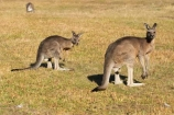 Animal;Animals;australasia;Australia;australian;eastern-gray-kangaroo;eastern-gray-kangaroos;eastern-grey-kangaroo;eastern-grey-kangaroos;father;grampian;grampian-national-park;grampians;grampians-national-park;gray-kangaroo;gray-kangaroos;Grey-Kangaroo;Grey-Kangaroos;halls-gap;head;heads;Kangaroo;Kangaroos;Macropodidae;Macropus-giganteus;male;Mammal;Mammals;Marsupial;Marsupials;marsupium;Nature;portrait;portraits;pouch;skippy;victoria;Wild;Wildlife;Zoology