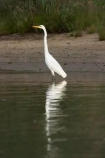 Animal;Animals;Aquatic-bird;Aquatic-birds;ardea-alba;ardeidae;australasia;Australia;australian;bird;birds;Echuca;Egretta-alba;endangered;estuaries;estuary;fauna;feather;feathers;great-egret;great-heron;heron;herons;Murray-River;native;natives;natural;Nature;New-South-Wales;Ornithology;rare;threatened;Victoria;Wading-bird;Wading-birds;water-bird;water-birds;white;white-heron;Wild;Wildlife