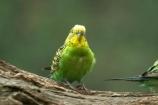 australasia;Australia;australian;avian;bird;birds;Budgerigar;budgerigars;budgie;budgies;green;melbourne;Melopsittacus-undulatus;parrot;parrots;victoria