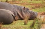 africa;african;animal;animals;australasian;Australia;australian;danger;dangerous;hippo;hippopotamus-amphibius;hippopotamuss;hippos;mammal;mammals;Melbourne;pachyderm;pachyderms;park;parks;sleepy;Victoria;werribee;Werribee-Open-Range-Zoo;wild;wildlife;zoo;zoos