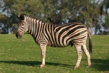 africa;african;animal;animals;australasian;Australia;australian;black;black-and-white;equine;Equus-burchelli;game-park;game-parks;game-viewing;genus-equus;grasslands;mammal;Melbourne;mmmals;park;parks;pattern;patterns;plain;plains;safari;safaris;savana;savanah;savanna;savannah;stripe;striped;stripes;stripped;Victoria;werribee;Werribee-Open-Range-Zoo;white;wild;wildlife;zebra;zebras;zoo;zoology;zoos