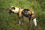 African-Wild-Dog;African-Wild-Dogs;Australia;endangered;Lycaon-pictus;Melbourne-Zoo;rare;threatened;Victoria;wild-dog;wild-dogs;zoo;zoos