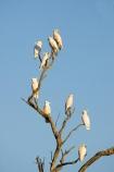 Animal;animals;Australasian;Australia;Australian;avian;Balranald;Beak;bird;bird-watching;bird_watching;birds;Fauna;lesser-sulphur_crested-cockatoo;lesser-sulphur_crested-cockatoos;N.S.W.;Natural;Nature;New-South-Wales;NSW;Ornithology;sulphur_crested-cockatoo;sulphur_crested-cockatoos;wild;wildlife;yellow_crested-cockatoo;yellow_crested-cockatoos