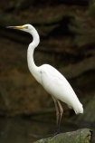 Animal;animals;Ardeidae;Australasian;Australia;Australian;Avian;Beak;bird;bird-watching;bird_watching;birds;Breakfast-with-the-Birds;eco-tourism;eco_tourism;ecotourism;Egretta-alba;Fauna;Great-Egret;Great-Egrets;heron;Natural;Nature;North-Queensland;Ornithology;Port-Douglas;Qld;Queensland;The-Rainforest-Habitat-Wildlife-Sanctuary;white;wild;Wildlife