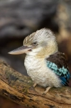 Animal;animals;Australasian;Australia;Australian;Avian;beak;beaks;bill;bills;bird;bird-watching;bird_watching;birds;Blue_winged-Kookaburra;Blue_winged-Kookaburras;Breakfast-with-the-Birds;Coraciiformes;Dacelo-leachii;eco-tourism;eco_tourism;ecotourism;Fauna;Halcyonidae;Natural;Nature;North-Queensland;Ornithology;Port-Douglas;Qld;Queensland;The-Rainforest-Habitat-Wildlife-Sanctuary;wild;Wildlife
