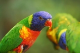Animal;animals;Australasian;Australia;Australian;Avian;Beak;bird;bird-watching;bird_watching;birds;Breakfast-with-the-Birds;colorful;colourful;eco-tourism;eco_tourism;ecotourism;Fauna;Natural;Nature;North-Queensland;Ornithology;parrot;parrots;Port-Douglas;Psittacidae;Psittaciformes;Qld;Queensland;Rainbow-Lorikeet;Rainbow-Lorikeets;The-Rainforest-Habitat-Wildlife-Sanctuary;Trichoglossus-haematodus;wild;Wildlife