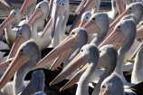 Animal;Animals;Aquatic-bird;Aquatic-birds;Australasian;Australia;Australian;Australian-Pelican;Australian-Pelicans;avian;beak;bill;bird;bird-watching;bird_watching;birds;crowd;eco-tourism;eco_tourism;ecotourism;Fauna;Feather;Feeding-the-Pelicans;flock;flocks;group;lots;many;Marine-bird;Marine-birds;N.S.W.;Natural;Nature;New-South-Wales;NSW;Oceania;Ornithology;Pelecanus-conspicillatus;Pelican;Pelicans;The-Entrance;water;wild;Wildlife;Zoology