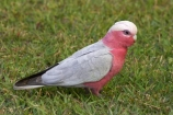 Nambucca-Heads;Animal;animals;australasia;Australasian;Australia;Australian;Avian;Beak;bird;birds;Blue;Bright;Cacatua-roseicapilla;Close-up;Color;Colored;Colorful;Colors;Colour;Coloured;Colourful;Colours;Exotic;Fauna;Galah;galahs;gallah;gallahs;N.S.W.;Natural;Nature;New-South-Wales;NSW;Oceania;Ornithology;Oz;Parrot;parrots;pink;Plumage;Vivid;wild;Wildlife