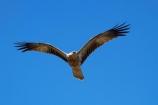 Adelaide-River;Animal;animals;Australia;Australian;avian;bird;bird-of-prey;bird-watching;bird_of_prey;bird_watching;birds;birds-of-prey;birds_of_prey;eco-tourism;eco_tourism;ecotourism;Fauna;flight;fly;flying;Haliastur-sphenurus;kite;kites;N.T.;Natural;Nature;Northern-Territory;NT;Ornithology;raptor;Top-End;Whistling-Kite;Whistling-Kites;wild;wildlife;Wing