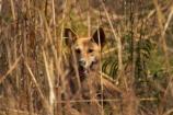 Australia;Australian;Australian-Dingo;Canidae;Canis-lupus-dingo;Carnivora;carnivore;Dingo;Dingoes;dog;dogs;Gagadju;Kakadu;Kakadu-N.P.;Kakadu-National-Park;Kakadu-NP;mammal;mammals;N.T.;national-parks;Northern-Territory;NT;predator;primative-dog;primative-dogs;Top-End;UN-world-heritage-area;UN-world-heritage-site;UNESCO-World-Heritage-area;UNESCO-World-Heritage-Site;united-nations-world-heritage-area;united-nations-world-heritage-site;Warrigal;wildlife;world-heritage;world-heritage-area;world-heritage-areas;World-Heritage-Park;World-Heritage-site;World-Heritage-Sites