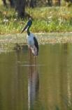 Animal;animals;Australia;Australian;Avian;Beak;billabong;billabongs;bird;bird-watching;bird_watching;birds;Black_necked-stork;calm;eco-tourism;eco_tourism;ecotourism;Ephippiorhynchus-asiaticus;Fauna;flood-plain;flood-plains;floodplain;floodplains;Gagadju;Jabiru;Jabirus;Kakadu;Kakadu-billabong;Kakadu-billabongs;Kakadu-flood-plain;Kakadu-flood-plains;Kakadu-floodplain;Kakadu-floodplains;Kakadu-N.P.;Kakadu-National-Park;Kakadu-NP;Kakadu-wetland;Kakadu-wetlands;N.T.;national-parks;Natural;Nature;Northern-Territory;NT;Ornithology;placid;quiet;reflection;reflections;serene;smooth;still;Top-End;tranquil;UN-world-heritage-area;UN-world-heritage-site;UNESCO-World-Heritage-area;UNESCO-World-Heritage-Site;united-nations-world-heritage-area;united-nations-world-heritage-site;water;wetland;wetlands;wild;wildlife;world-heritage;world-heritage-area;world-heritage-areas;World-Heritage-Park;World-Heritage-site;World-Heritage-Sites;Yellow-Water;Yellow-Water-Billabong;Yellow-Water-Wetland;Yellow-Water-Wetlands