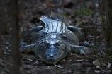 Australia;Australian;billabong;billabongs;croc;crocodile;crocodiles;Crocodylus-Porosus;crocs;flood-plain;flood-plains;floodplain;floodplains;Gagadju;Gagudju-Dreaming;Kakadu;Kakadu-N.P.;Kakadu-National-Park;Kakadu-NP;N.T.;national-parks;Northern-Territory;NT;reptile;reptiles;saltwater-crocodile;saltwater-crocodiles;salty;swamp;swampland;Top-End;UN-world-heritage-area;UN-world-heritage-site;UNESCO-World-Heritage-area;UNESCO-World-Heritage-Site;united-nations-world-heritage-area;united-nations-world-heritage-site;wetland;wetlands;wildlife;world-heritage;world-heritage-area;world-heritage-areas;World-Heritage-Park;World-Heritage-site;World-Heritage-Sites;Yellow-Water;Yellow-Water-Billabong;Yellow-Water-Wetland;Yellow-Water-Wetlands