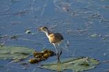 Animal;animals;Australia;Australian;Avian;Beak;billabong;billabongs;bird;bird-watching;bird_watching;birds;eco-tourism;eco_tourism;ecotourism;Fauna;flood-plain;flood-plains;floodplain;floodplains;Gagadju;juvenile;Kakadu;Kakadu-billabong;Kakadu-billabongs;Kakadu-flood-plain;Kakadu-flood-plains;Kakadu-floodplain;Kakadu-floodplains;Kakadu-N.P.;Kakadu-National-Park;Kakadu-NP;Kakadu-wetland;Kakadu-wetlands;lilies;lily;lily-pad;lily-pads;N.T.;national-parks;Natural;Nature;Northern-Territory;NT;Ornithology;Top-End;UN-world-heritage-area;UN-world-heritage-site;UNESCO-World-Heritage-area;UNESCO-World-Heritage-Site;united-nations-world-heritage-area;united-nations-world-heritage-site;wetland;wetlands;wild;wildlife;world-heritage;world-heritage-area;world-heritage-areas;World-Heritage-Park;World-Heritage-site;World-Heritage-Sites;Yellow-Water;Yellow-Water-Billabong;Yellow-Water-Wetland;Yellow-Water-Wetlands