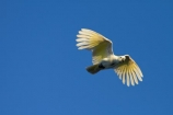 Animal;animals;Australia;Australian;Avian;Beak;bird;bird-watching;bird_watching;birds;Cacatua-galerita;cockatoo;cockatoos;eco-tourism;eco_tourism;ecotourism;Fauna;flight;fly;flying;Gagadju;Kakadu;Kakadu-N.P.;Kakadu-National-Park;Kakadu-NP;N.T.;national-parks;Natural;Nature;Northern-Territory;NT;Ornithology;parrot;parrots;Sulfur-crested-Cockatoo;Sulfur_crested-Cockatoo;Top-End;UN-world-heritage-area;UN-world-heritage-site;UNESCO-World-Heritage-area;UNESCO-World-Heritage-Site;united-nations-world-heritage-area;united-nations-world-heritage-site;wild;wildlife;world-heritage;world-heritage-area;world-heritage-areas;World-Heritage-Park;World-Heritage-site;World-Heritage-Sites;Yellow-Water;Yellow-Water-Billabong;Yellow-Water-Wetland;Yellow-Water-Wetlands