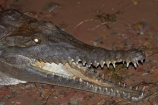 Australasian;Australia;Australian;Australian-freshwater-crocodile;croc;crocodile;crocodiles;Crocodylus-johnsoni;Crocodylus-johnstoni;crocs;danger;dangerous;dark;freshie;freshwater-crocodile;freshwater-crocodiles;Johnstons-crocodile;Kimberley;Kimberley-Region;Kununurra;lake;Lake-Kununurra;lakes;Lily-Creek-Lagoon;night;nocturnal;reptile;reptiles;teeth;The-Kimberley;W.A.;WA;West-Australia;Western-Australia;wildlife