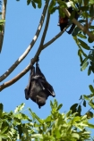 Adelaide-River;Australasia;Australia;bat;bats;fruit-bat;fruit-bats;mammal;mammals;N.T.;nocturnal;Northern-Territory;NT;Top-End
