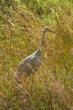 Animal;animals;Australasia;Australia;Australian-Crane;Avian;Beak;bird;bird-watching;bird_watching;birds;Brolga;Brolgas;crane-family;eco-tourism;eco_tourism;ecotourism;Fauna;Grus-rubicunda;N.T.;Native-Companion;Natural;Nature;Northern-Territory;NT;Ornithology;Top-End;Victoria-Highway;wild;wildlife;Wing