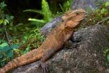 animal;animals;Aus;Australia;Australian;close-up;close_up;creature;dragon;dragons;eastern-water-dragon;eastern-water-dragons;herpetoculture;herpetoid;herpetologist;herpetology;herpeton;Intellagama;Intellagama-lesueurii;lizard;lizards;Physignathus-lesueurii;Physignathus-lesueurii-lesueuri;QLD;Queensland;reptile;reptiles;reptilian;scale;skin;texture;tropical;vertebrate;water-dragon;water-dragons