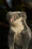 Animal;Animals;Aus;Australia;australian;climb;climbs;Close-up;Close_up;currumbin;currumbin-wildlife-sanctuary;eucalyptus;face;fur;furry;gold-coast;gum-tree;Koala;Koala-Bear;Koalas;Mammal;Mammals;Marsupial;Marsupials;Nature;Oceania;Phascolarctos;Phascolarctos-cinereus;QLD;Queensland;tree;trees;Wild;Wildlife;zoo;Zoology