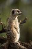 African;Auckland;Auckland-Zoo;Grey-Meerkat;mammal;mammals;Meerkat;meerkats;mongoose;mongooses;N.I.;N.Z.;New-Zealand;NI;North-is;North-Island;NZ;Suricata-suricatta;suricate;suricates;wildlife;wildlife-park;wildlife-parks;zoo;zoos;zoozs