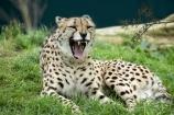 Acinonyx-jubatus;African;Auckland;Auckland-Zoo;carnivore;carnivorous;cat;cats;cheetah;cheetahs;fauna;felidae;mammal;mammals;N.I.;N.Z.;New-Zealand;NI;North-is;North-Island;NZ;wildlife;wildlife-park;wildlife-parks;zoo;zoos