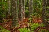 Auckland;Auckland-Region;fern;ferns;forest;forests;frond;fronds;kauri;Kauri-forest;kauri-tree;kauri-trees;kauris;N.Z.;native-bush;native-forest;native-forests;nature;New-Zealand;North-Auckland;North-Is.;North-Island;Nth-Is;NZ;Parry-Kauri-Park;tree;trees;Warkworth;wood;woods