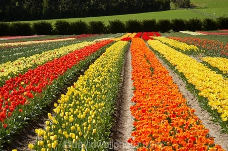 bloom;blooming;blooms;color;colorful;colors;colour;colourful;colours;country;countryside;cultivation;farm;farming;farmland;farms;field;fields;flora;floral;flower;flowers;fresh;garden;grow;growing;growth;horticulture;N.Z.;New-Zealand;NZ;orange;paddock;paddocks;red;renew;rural;S.I.;season;seasonal;seasons;SI;South-Is.;South-Island;spring;springtime;Tapanui;tulip;tulip-bulb-growing;tulip-field;Tulip-Fields;Tulipa-sp.;tulips;West-Otago;yellow