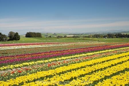 bloom;blooming;blooms;color;colorful;colors;colour;colourful;colours;country;countryside;cultivation;farm;farming;farmland;farms;field;fields;flora;floral;flower;flowers;fresh;garden;grow;growing;growth;horticulture;lilac;mauve;N.Z.;New-Zealand;NZ;paddock;paddocks;purple;renew;rural;S.I.;season;seasonal;seasons;SI;South-Is.;South-Island;spring;springtime;Tapanui;tulip;tulip-bulb-growing;tulip-field;Tulip-Fields;Tulipa-sp.;tulips;violet;West-Otago;yellow