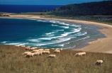 bay;beach;beaches;Catlins;coast;coastal;coastline;color;colour;farmland;flock;flocks;herd;herds;marine;n.z.;New-Zealand;nz;ocean;Pacific;paddock;rugged;rural;sand;sandy;sea;sheep;shore;shoreline;South-Island;Southern-Scenic-Route;Tautuku-Bay;wave;waves