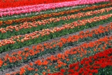 agriculture;color;colors;colour;colours;countryside;cultivation;field;fields;flora;floral;flower;flowers;garden;gardens;green;growing;horticulture;n.z.;New-Zealand;nz;orange;pink;red;rural;South-Island;South-Otago;Tapanui;tulip;Tulip-Field;Tulip-Fields;tulips;yellow